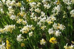 Raccolta dei fiori bianchi e gialli Immagini Stock Libere da Diritti