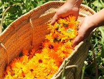 Raccolta dei fiori della calendula Immagine Stock Libera da Diritti