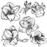 Raccolta dei fiori di hippeastrum nello stile disegnato a mano d'annata fotografia stock libera da diritti