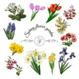 Raccolta dei fiori differenti della molla: tulipano, iride, narciso, malus, papavero, croco, mimosa, muscari e primula illustrazione di stock