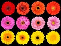 Raccolta dei fiori freschi della gerbera isolati sul nero Immagini Stock Libere da Diritti