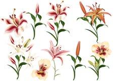 Raccolta dei fiori realistici dei gigli illustrazione vettoriale