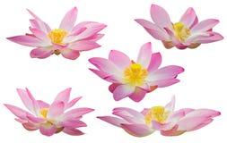 Raccolta dei fiori rosa del fiore di loto isolati su fondo bianco Immagine Stock