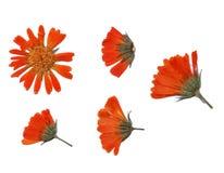Raccolta dei fiori secchi isolati su un fondo bianco Fotografie Stock Libere da Diritti
