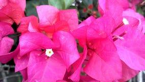 Raccolta dei fiori a Taman Bunga Nusantara Indonesia fotografia stock libera da diritti