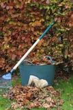Raccolta dei fogli di autunno dalla barriera del faggio Immagine Stock