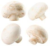 Raccolta dei funghi bianchi isolati sui precedenti bianchi Fotografie Stock Libere da Diritti