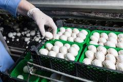 Raccolta dei funghi prataioli freschi su una produzione di fungo Fotografia Stock