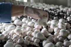 Raccolta dei funghi prataioli freschi su una produzione di fungo Immagine Stock