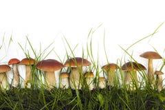 Raccolta dei funghi selvaggi commestibili Immagini Stock Libere da Diritti