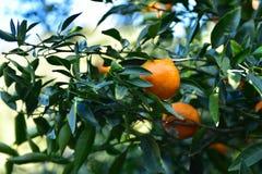 Raccolta dei mandarini nel frutteto Fotografia Stock