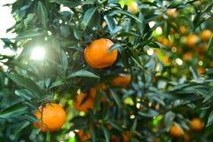 Raccolta dei mandarini nel frutteto Immagine Stock