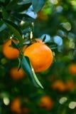 Raccolta dei mandarini nel frutteto Fotografia Stock Libera da Diritti