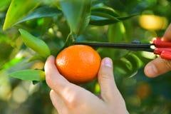 Raccolta dei mandarini nel frutteto Immagini Stock Libere da Diritti