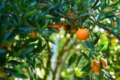 Raccolta dei mandarini nel frutteto Fotografie Stock