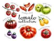 Raccolta dei pomodori colorati differenti illustrazione vettoriale
