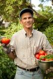 Raccolta dei pomodori di estate Fotografia Stock