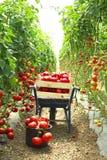 Raccolta dei pomodori in giardino Immagini Stock