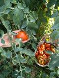 Raccolta dei pomodori nel giardino Immagini Stock