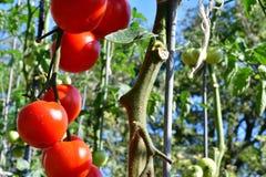 raccolta dei pomodori nel giardino che farmering Fotografie Stock Libere da Diritti