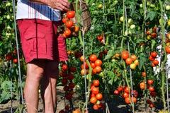 raccolta dei pomodori nel giardino che farmering Fotografie Stock