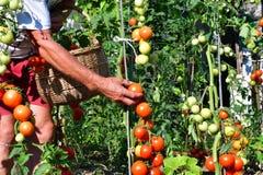 raccolta dei pomodori nel giardino che farmering Immagini Stock