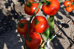 raccolta dei pomodori nel giardino che farmering Fotografia Stock Libera da Diritti
