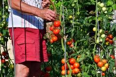 raccolta dei pomodori nel giardino che farmering Immagini Stock Libere da Diritti