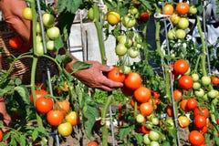 raccolta dei pomodori nel giardino che farmering Immagine Stock Libera da Diritti