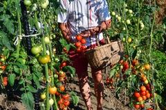raccolta dei pomodori nel giardino che farmering Fotografia Stock