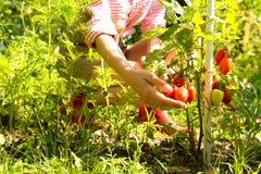 Raccolta dei pomodori organici nel giardino Fotografie Stock