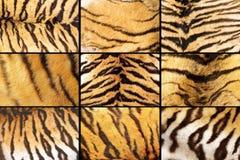 Raccolta dei primi piani della pelliccia della tigre Fotografia Stock Libera da Diritti