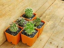 Raccolta dei succulenti e del cactus in piccoli vasi da fiori Immagine Stock
