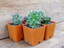 Raccolta dei succulenti e del cactus in piccoli vasi da fiori Immagini Stock