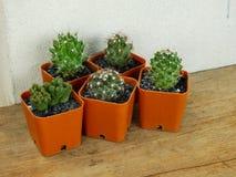 Raccolta dei succulenti e del cactus in piccoli vasi da fiori Immagine Stock Libera da Diritti