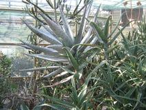 Raccolta dei succulenti nel conservatorio del giardino botanico Fotografia Stock Libera da Diritti
