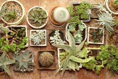 Raccolta dei succulenti nella vista superiore dei vasi Fotografia Stock Libera da Diritti