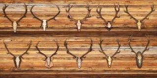 Raccolta dei trofei dei cervi nobili su fondo di legno Immagine Stock