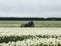 Raccolta dei tulipani Immagini Stock Libere da Diritti