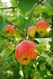 Raccolta del Apple in un giardino Fotografia Stock Libera da Diritti