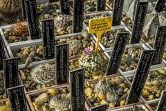 Raccolta del cactus Fotografie Stock