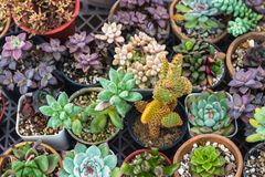 Raccolta del cactus e della pianta dei succulenti nel giardino Piccola c Fotografie Stock
