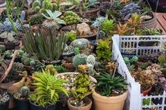 Raccolta del cactus e della pianta dei succulenti nel giardino Piccola c Immagine Stock Libera da Diritti