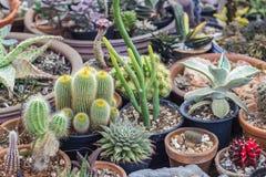 Raccolta del cactus e della pianta dei succulenti nel giardino Piccola c Fotografie Stock Libere da Diritti