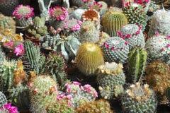 Raccolta del cactus, molte in fiore Fotografie Stock Libere da Diritti