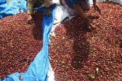 Raccolta del CAFFÈ in INDONESIA Immagine Stock
