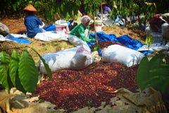 Raccolta del CAFFÈ in INDONESIA Immagini Stock
