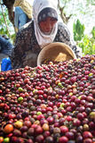 Raccolta del CAFFÈ in INDONESIA Immagine Stock Libera da Diritti