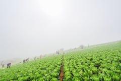 Raccolta del cavolo cinese fotografia stock