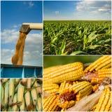 Raccolta del cereale Fotografie Stock Libere da Diritti